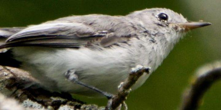 Gobemoucheron gris-bleu - Normand Laplante, 10 août 2021